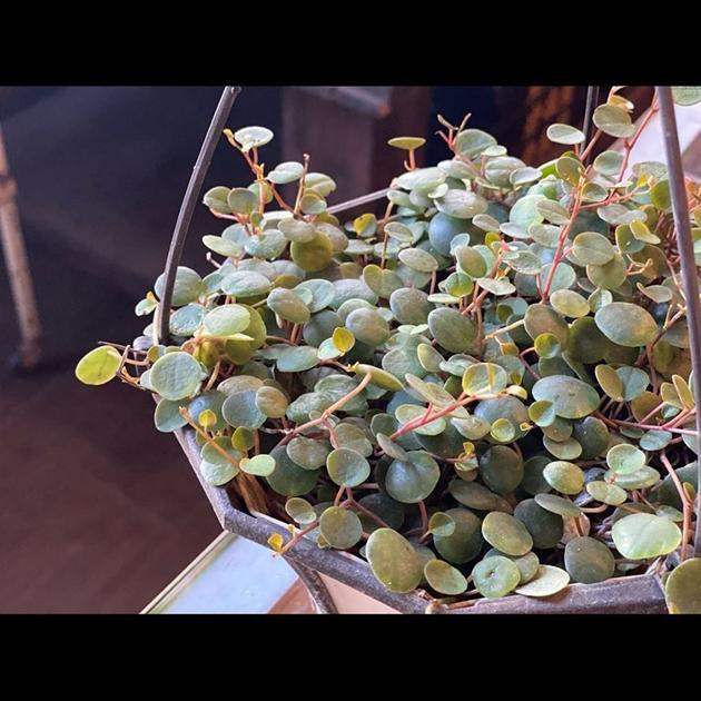 植物 ペペロミア