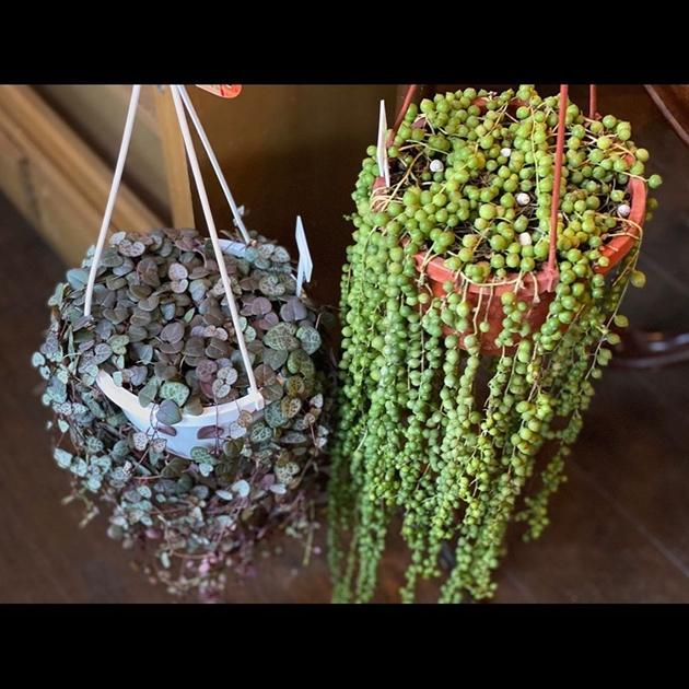 植物 グリーンネックレス ハートカズラ