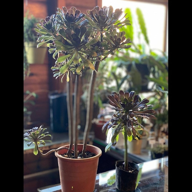 植物黒法師