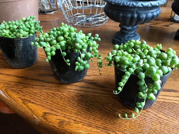 81植物4