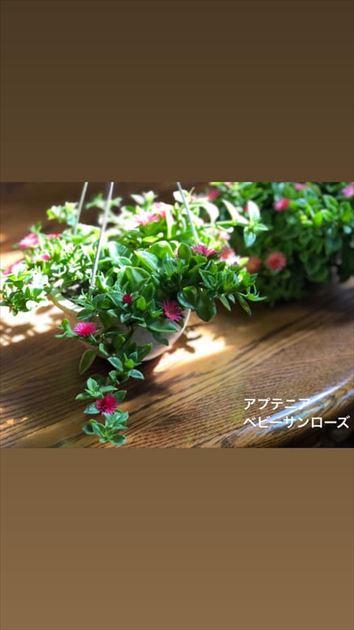 819/15植物・ハロウィンコピパナス